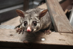 Possums Pest Control