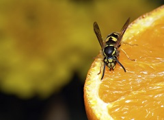 Wasp Control Melbourne