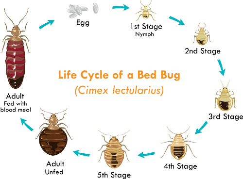 Bed Bug's Life Cycle