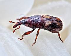 Rice Weevil Beetle