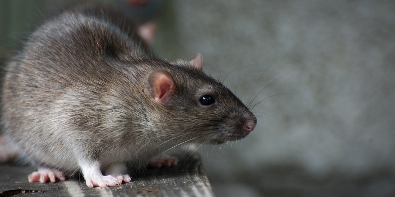 Why Rat Infestations should never be underestimated?